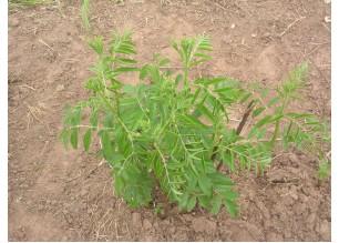 Сладък корен
